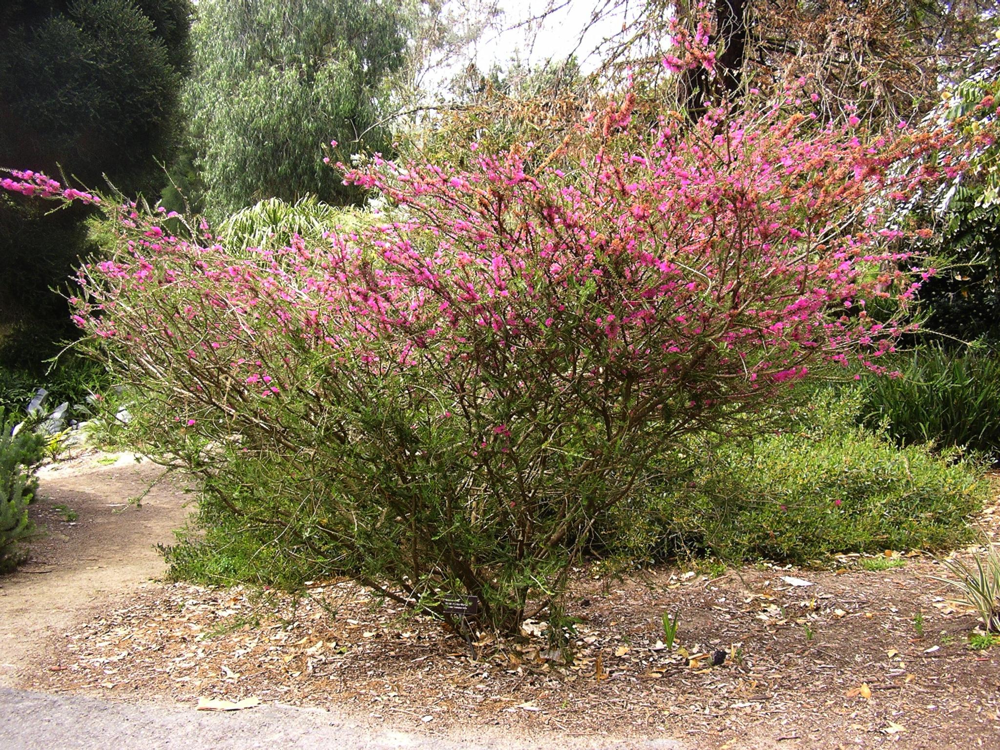 Superb Allan Gardens #8: 10_Melaleuca_wilsonii_FL.jpg.JPG   Klick ...