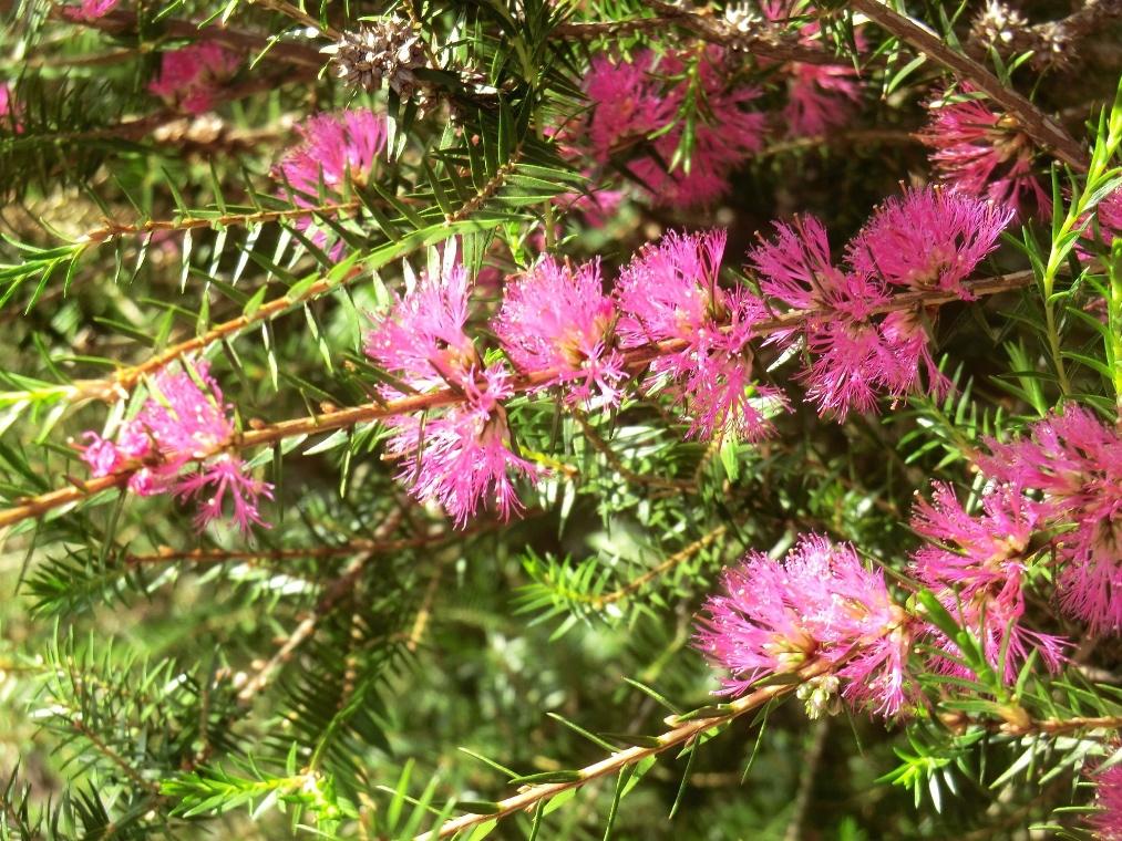 Violet honey myrtle