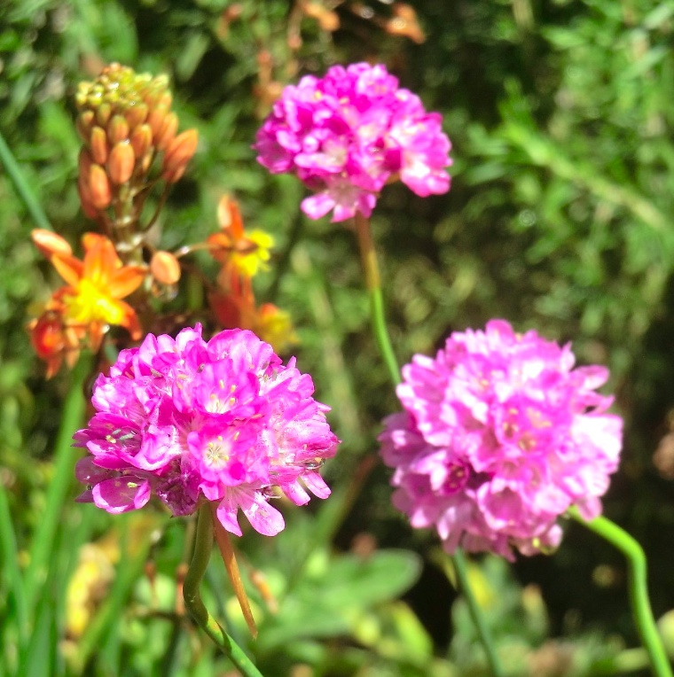 'Joy Stick' Sea Thrift