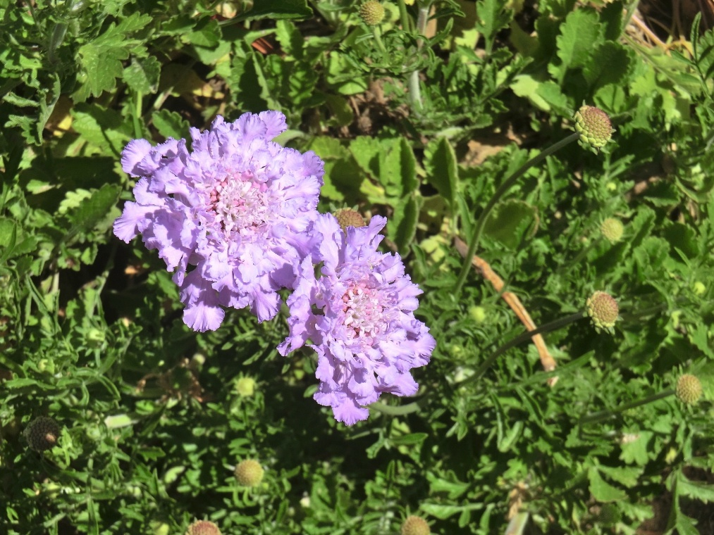 Pigeon's scabious