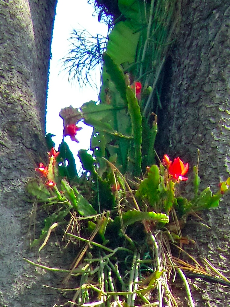 Red Epiphyllum - Epiphytic