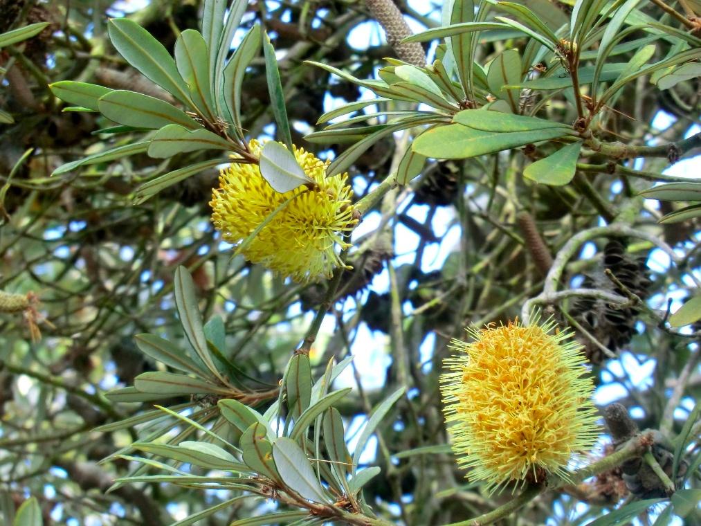 Banksia - Hairpin