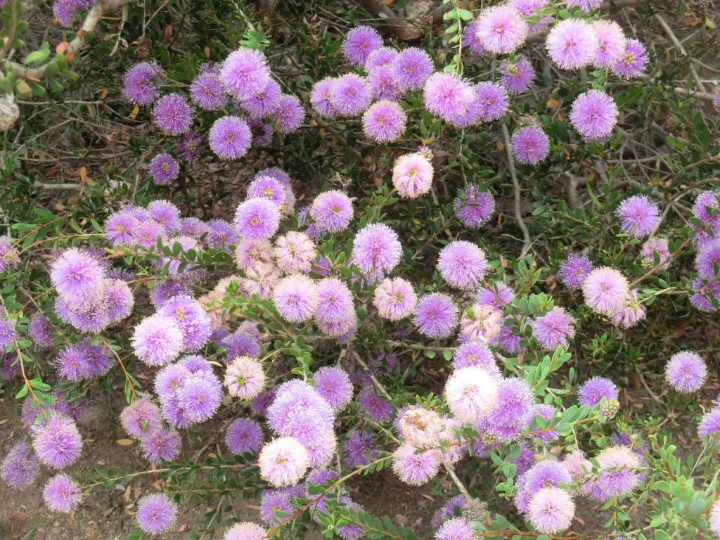 Pink Melaleuca (flower)
