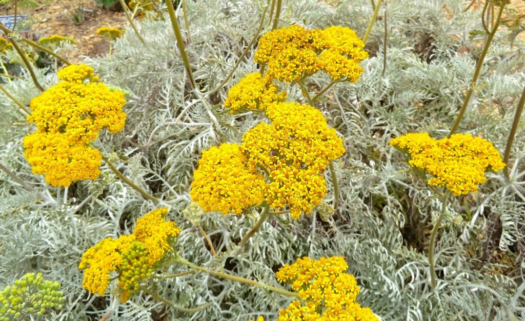 Catalina silver lace (plant)