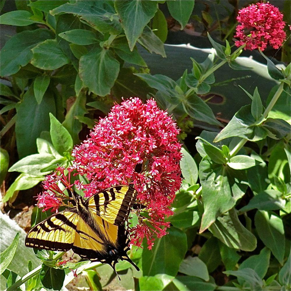 Jupiter's beard (flower) - swallowtail butterfly
