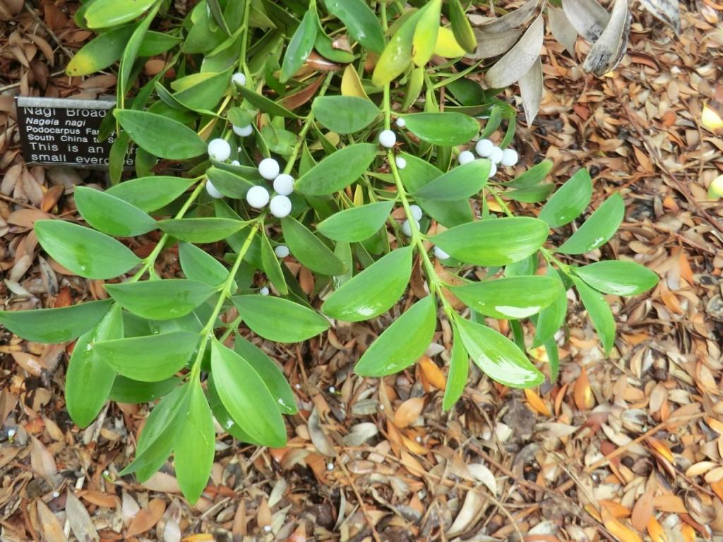 Nagi Broadleaf Pine