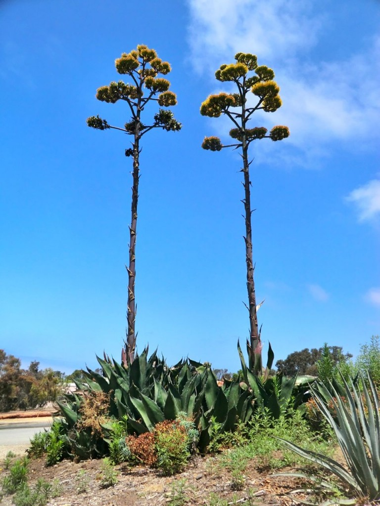 Agave - plant