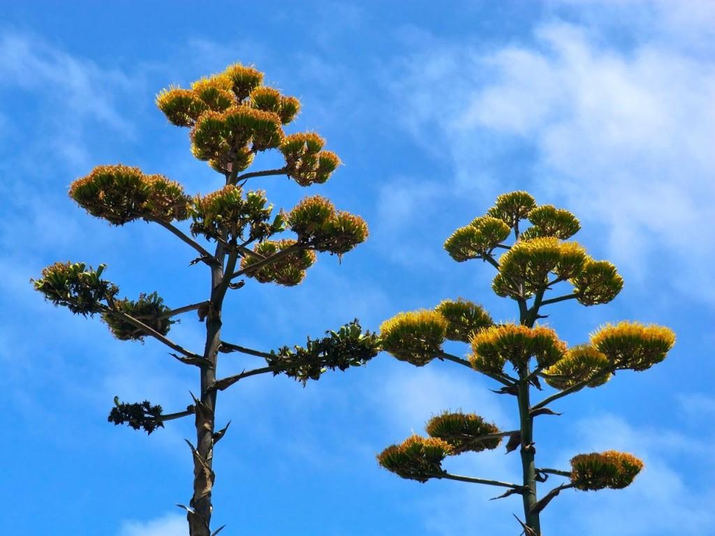 Agave - flower