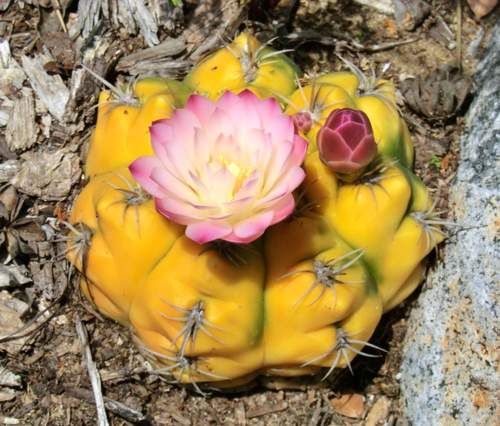 Unidentified spherical cactus (flower)