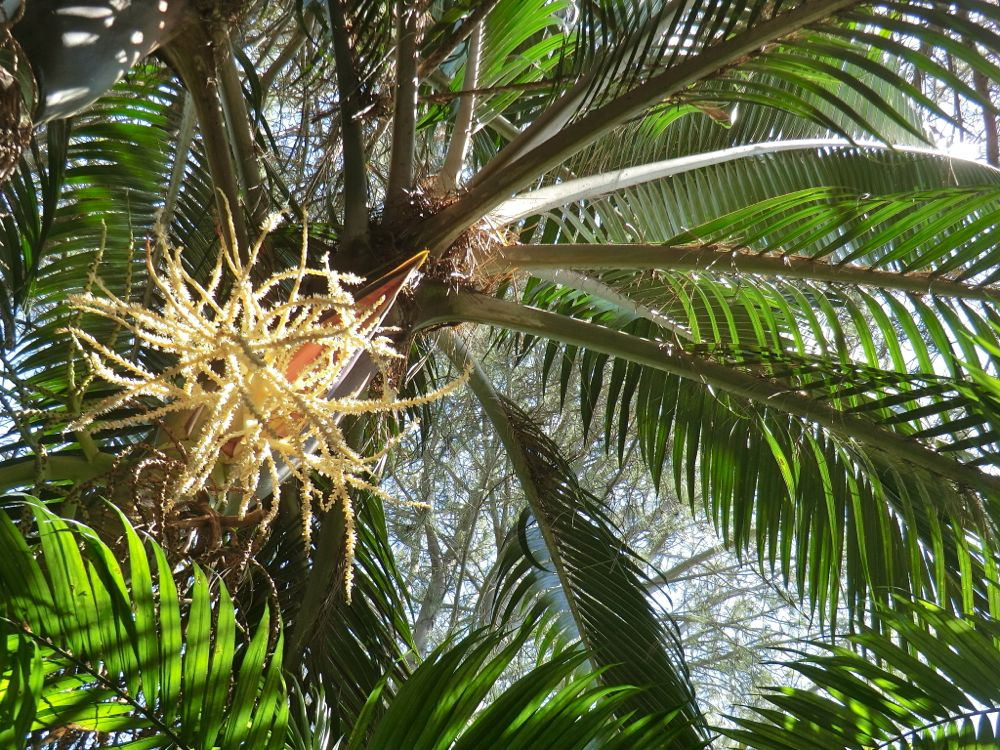 Norfolk Island Palm