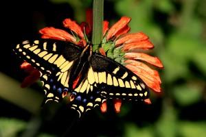 Leonotis leonurus / Papilio glaucus