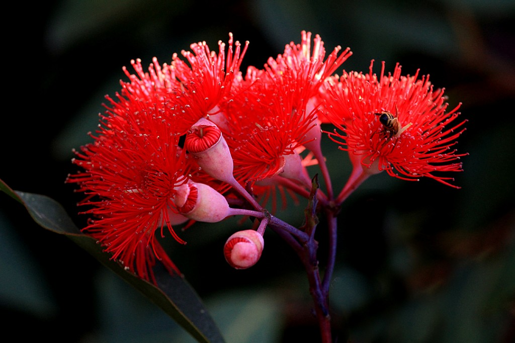 Red flowering gum