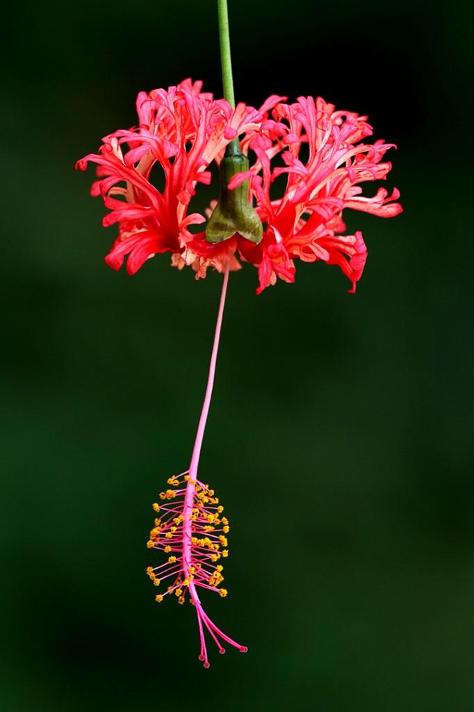 Hibiscus, Coral