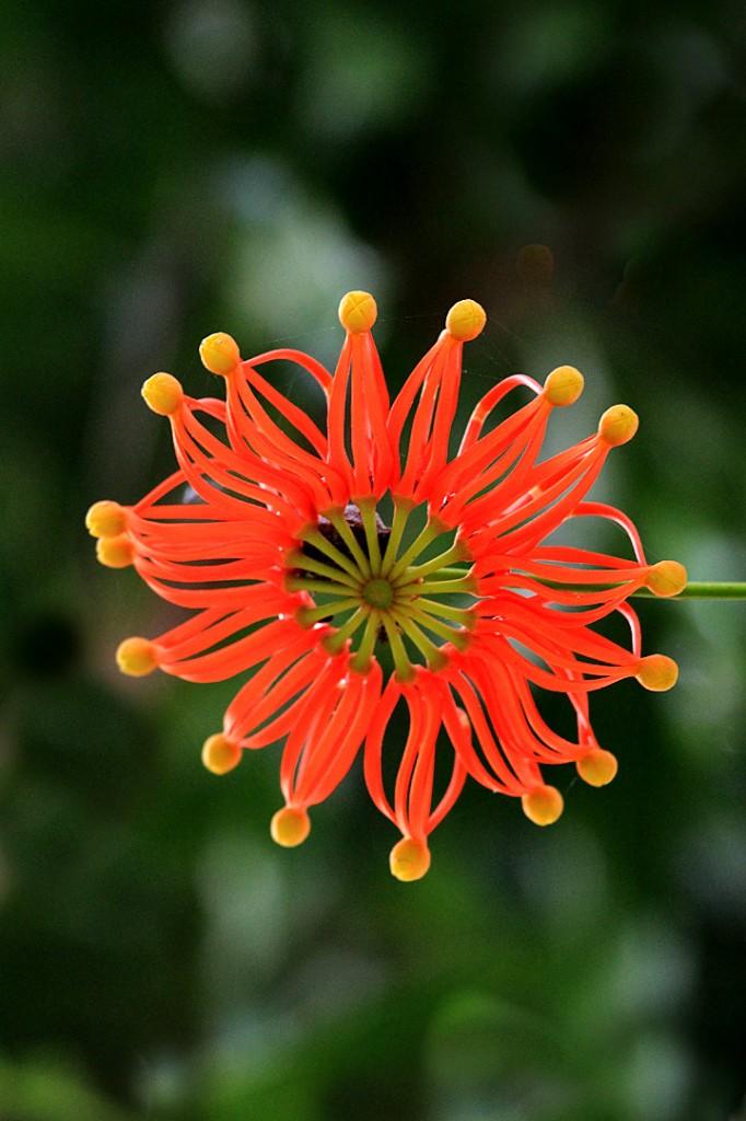 Star firewheel