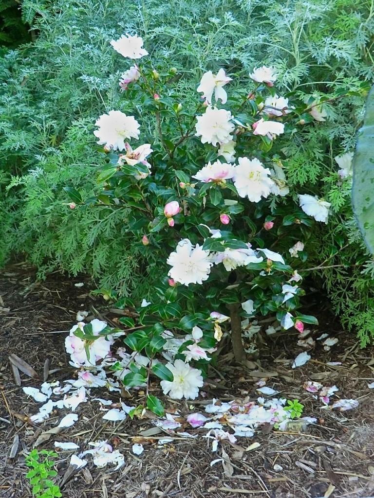 Camellia - white