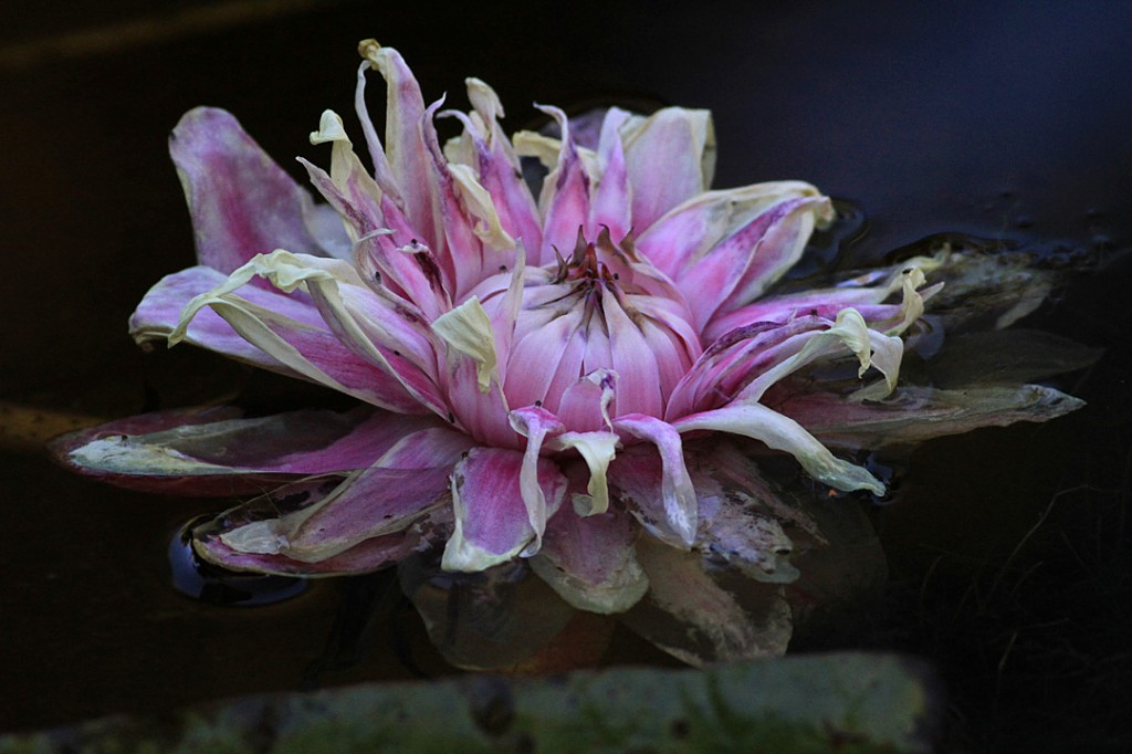 Water lily - Victoria - flower