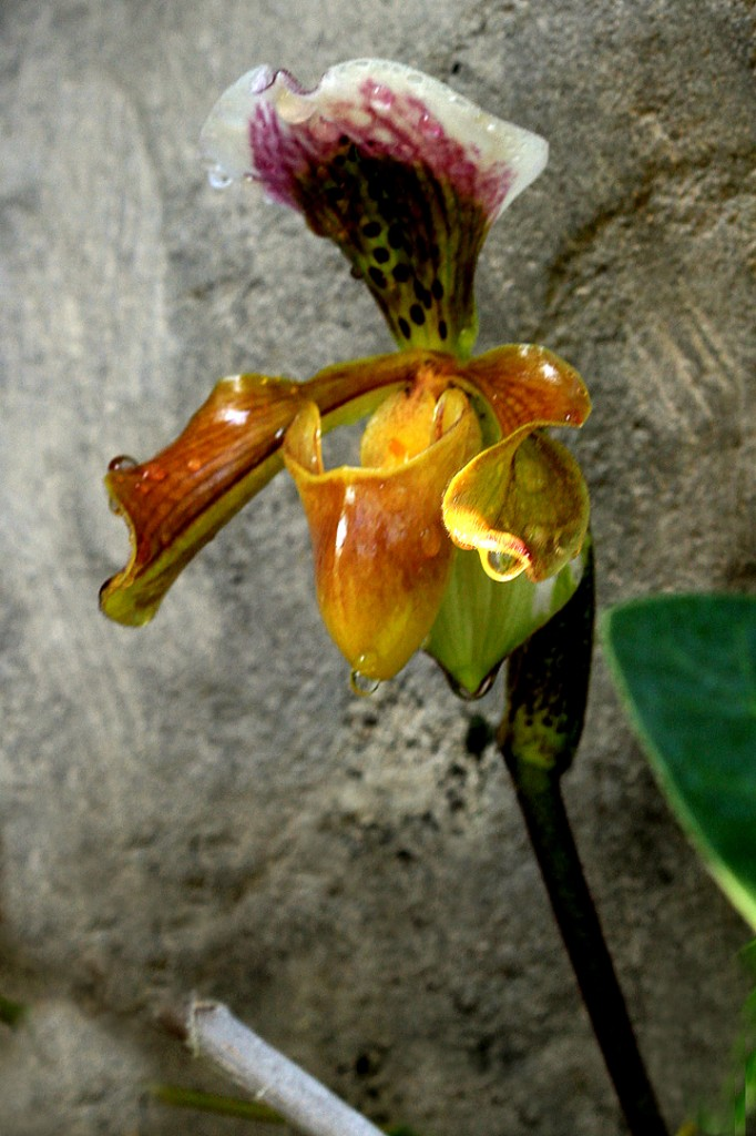 Epiphytic ladyslipper orchid