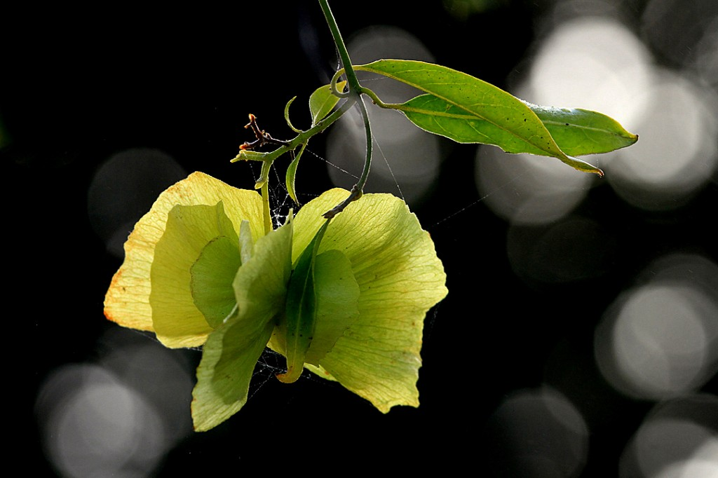 Yellow orchid vine - seed pod