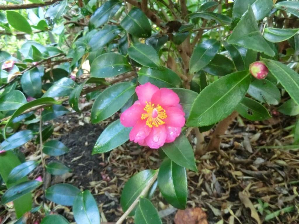Camellia - plant