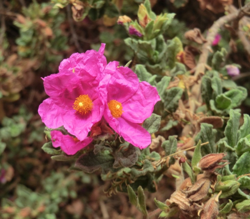 Cistus, white-leaved