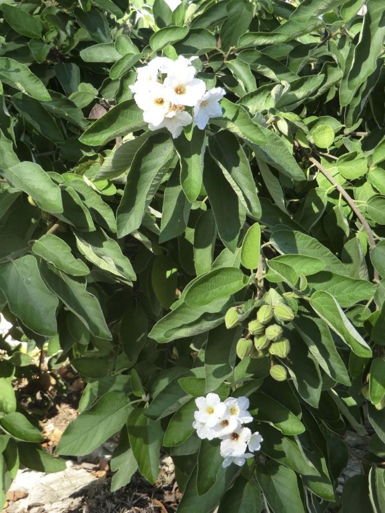 Texas Wild Olive