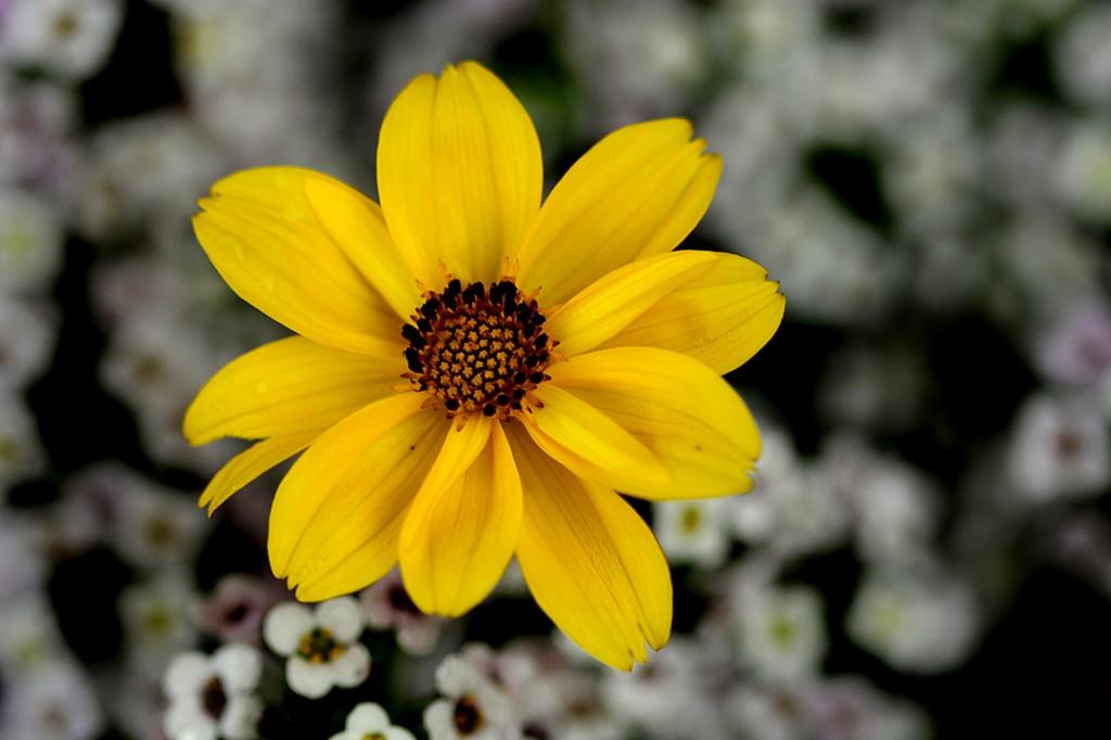 Burr marigold