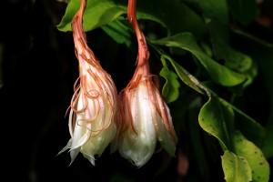 CereusEpiphyllum oxypetalum
