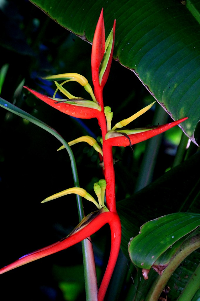 False Bird of Paradise
