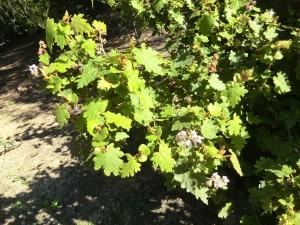 Solanum leafed Thomasia