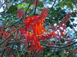 Mexican coral tree = Pito