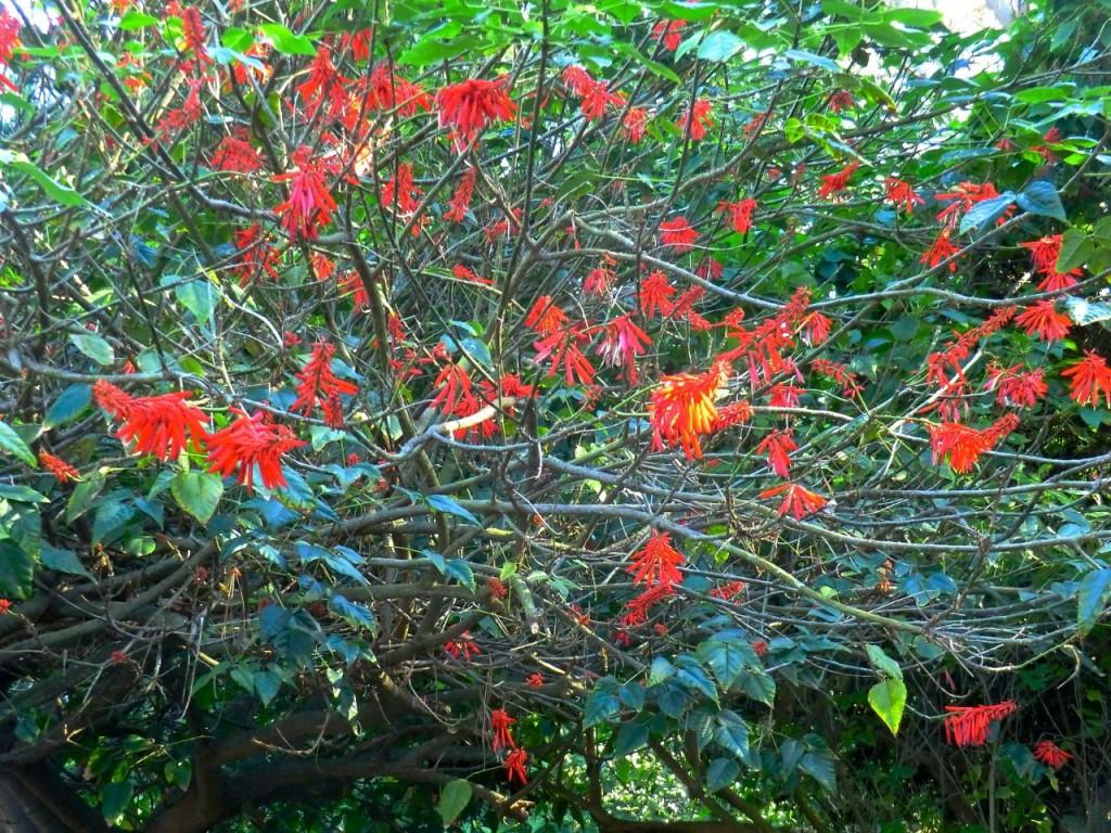 Erythrina mexicana