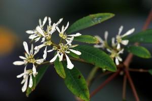Whitelace Euphorbia = Pascuita