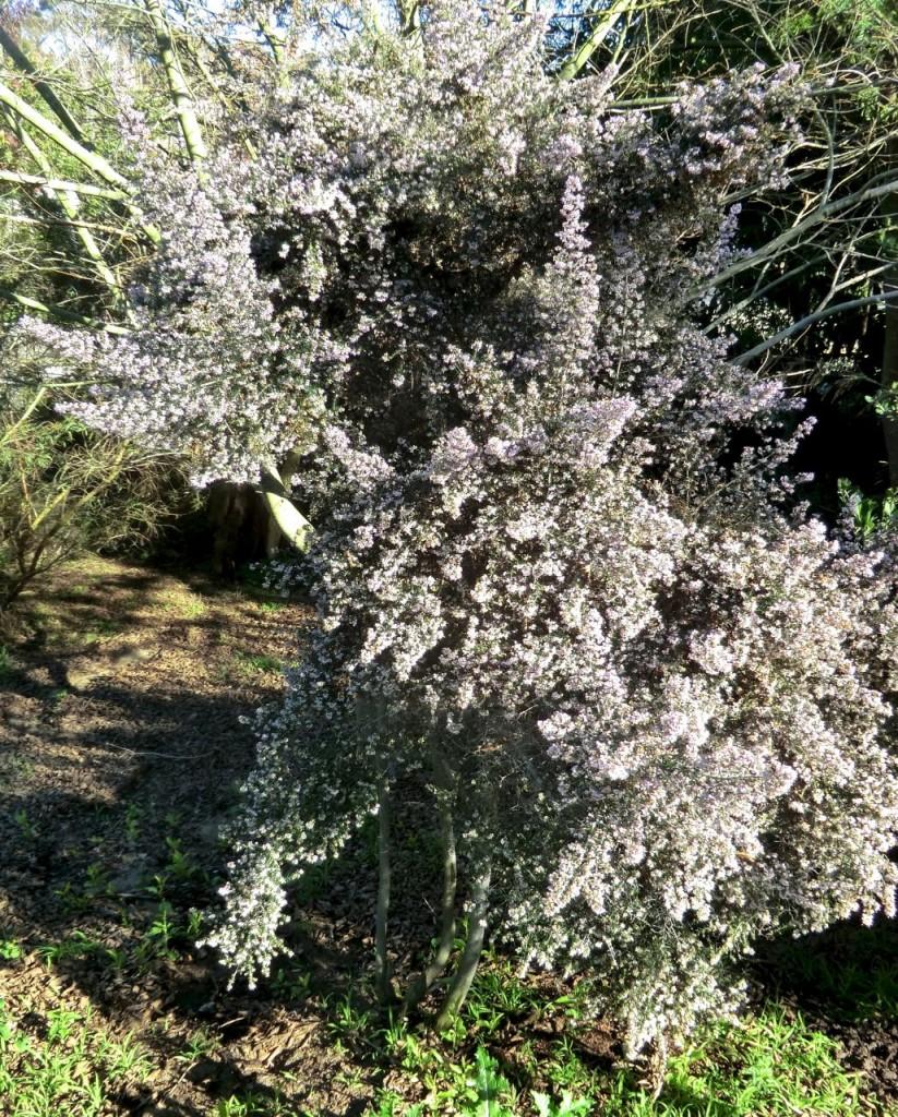 Erica canaliculata 'Rosea'
