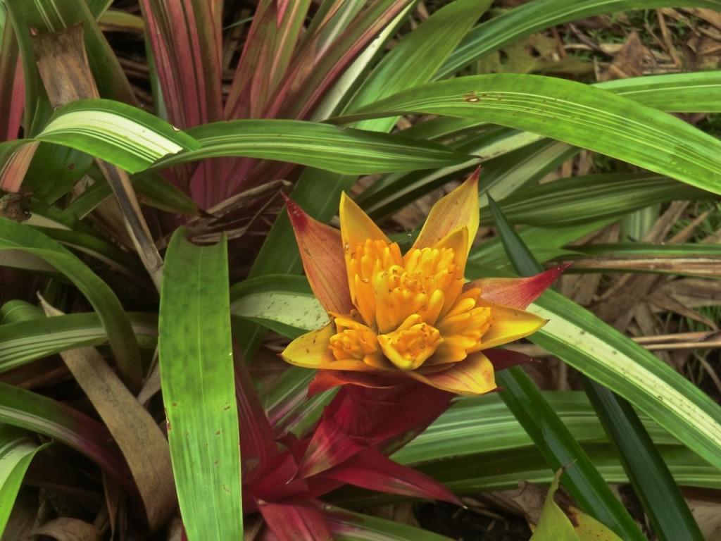 Bromeliaceae 0113b
