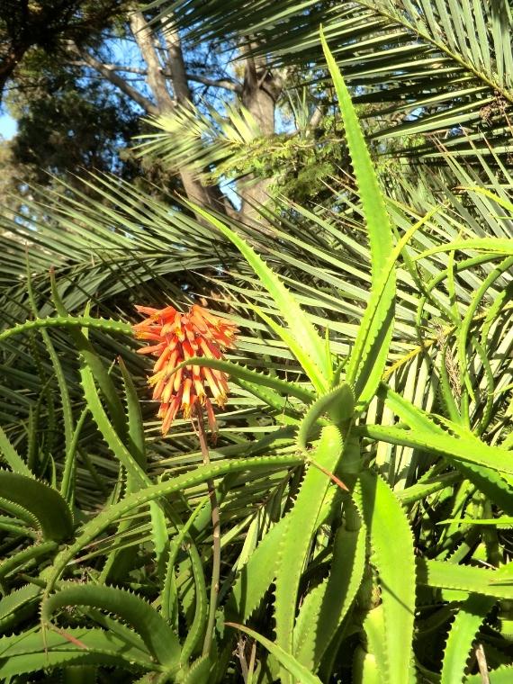 Aloe - Ethiopian (plant)