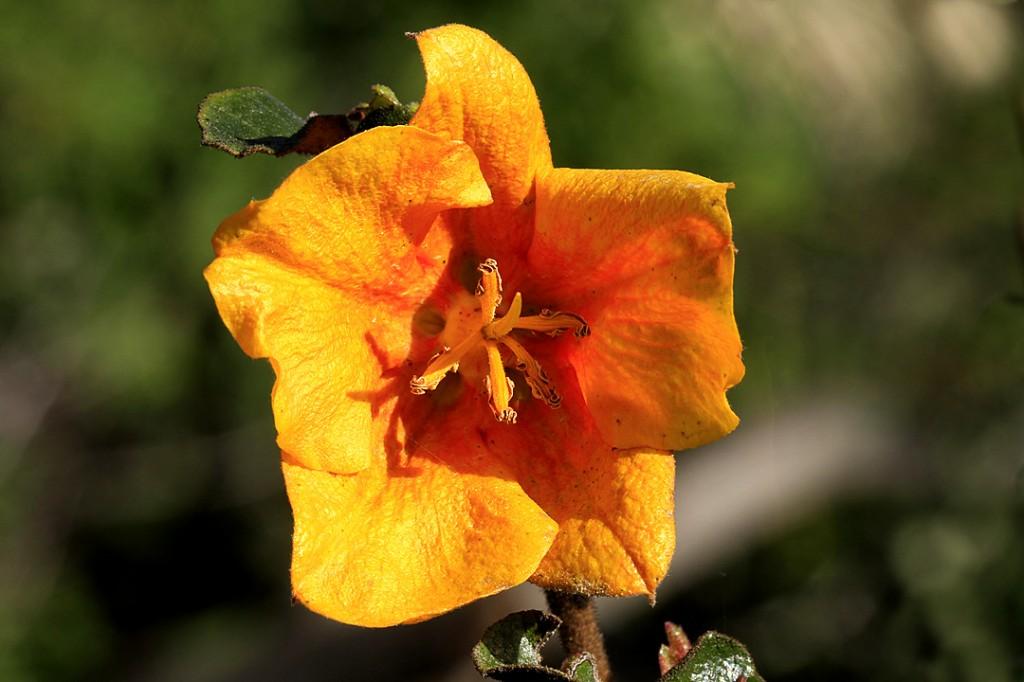 Flannelbush - Mexican (flower)