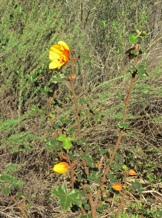 Flannelbush - Mexican (plant)