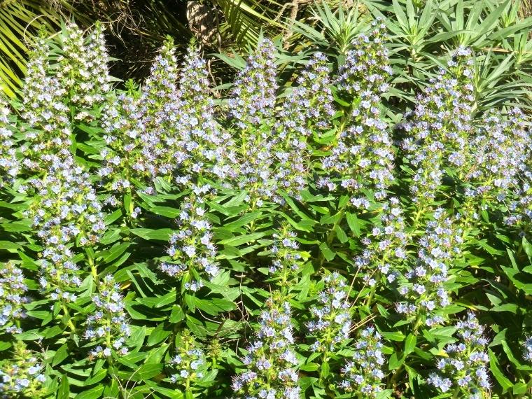 Echium - Blue Shrub (flower)