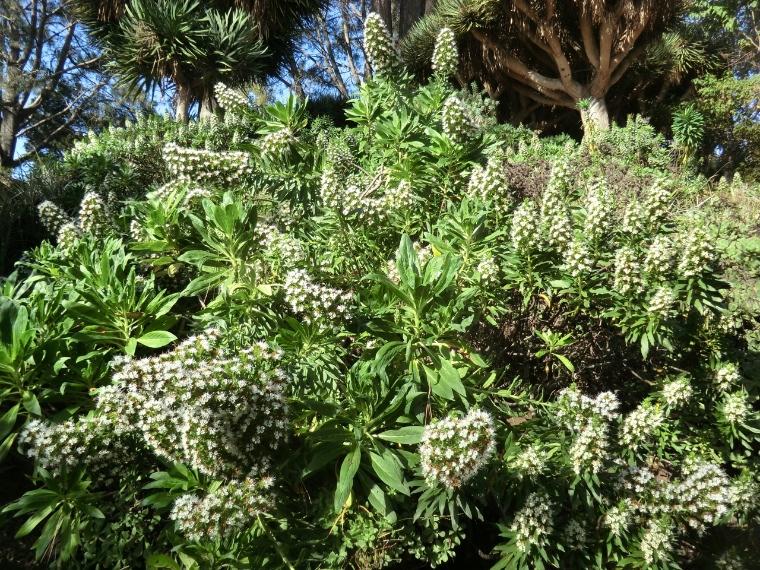 Echium - White Shrub (plant)