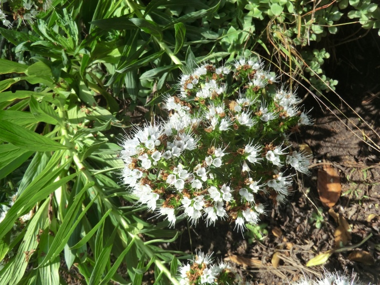 Echium - White Shrub (flower)