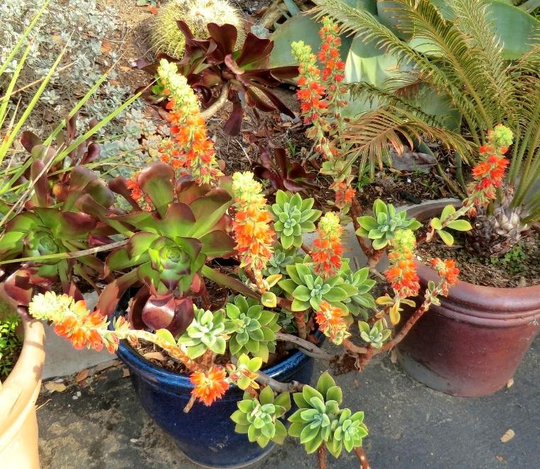 Echeveria - Red (plant)