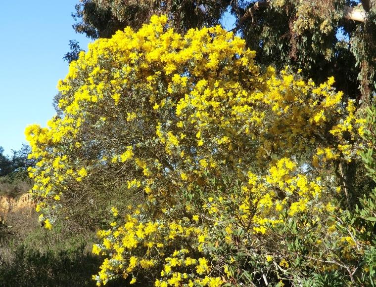 Wattle - Queensland silver (plant)