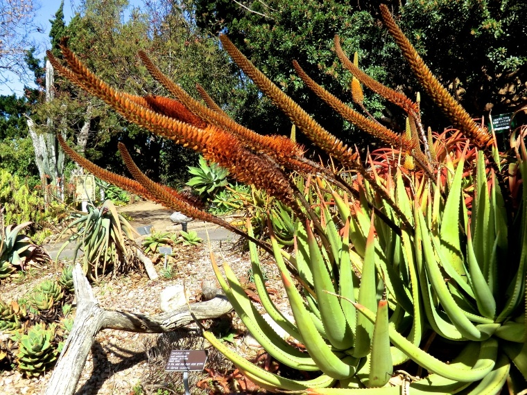 Aloe - Cat's Tail (plant)