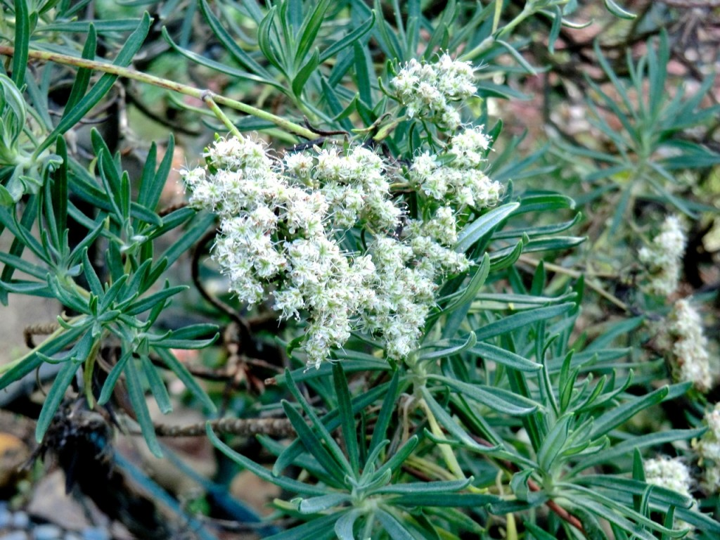 Buckwheat - Santa Cruz Island  (plant)