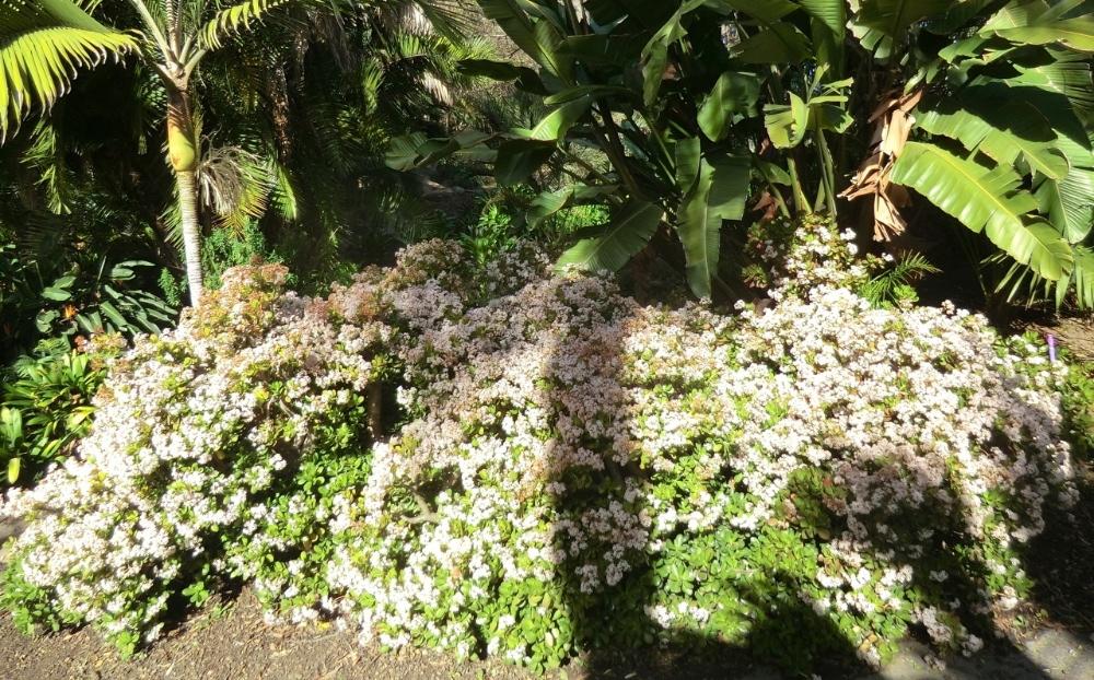 Jade plant (plant)