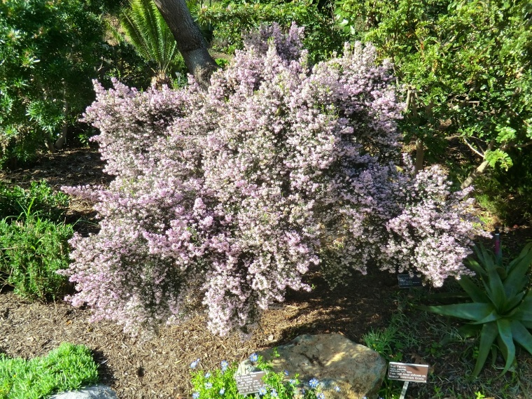 Heath - South African (plant)