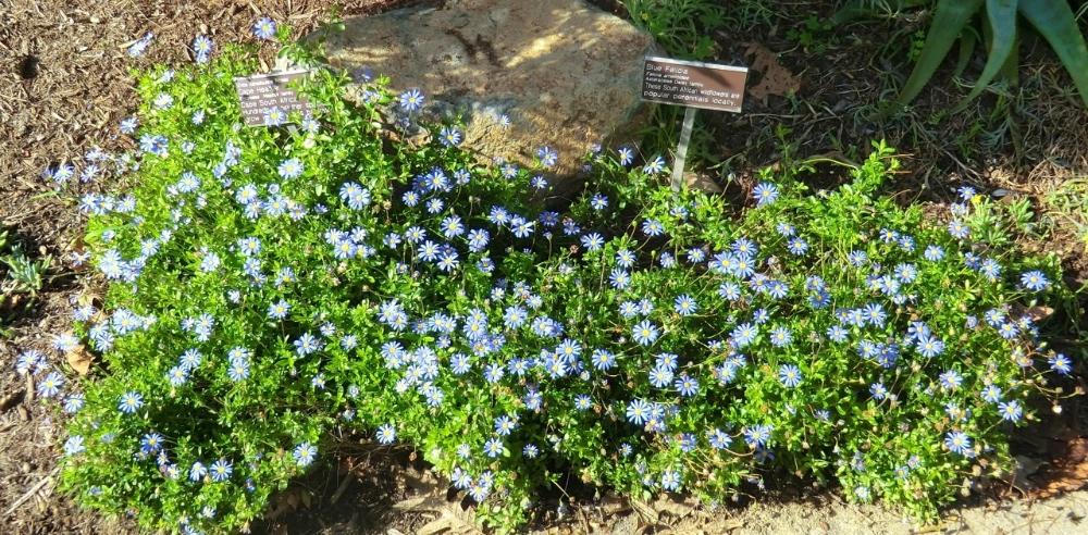 Marguerite - Blue (plant)