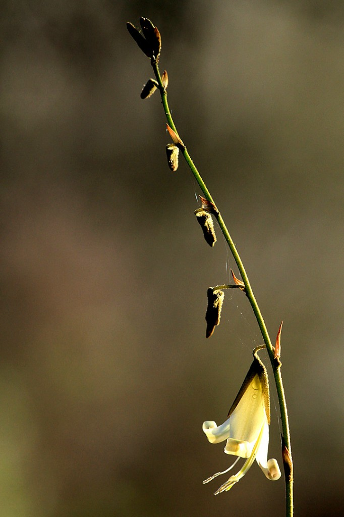 Puya ferruginea (flower)