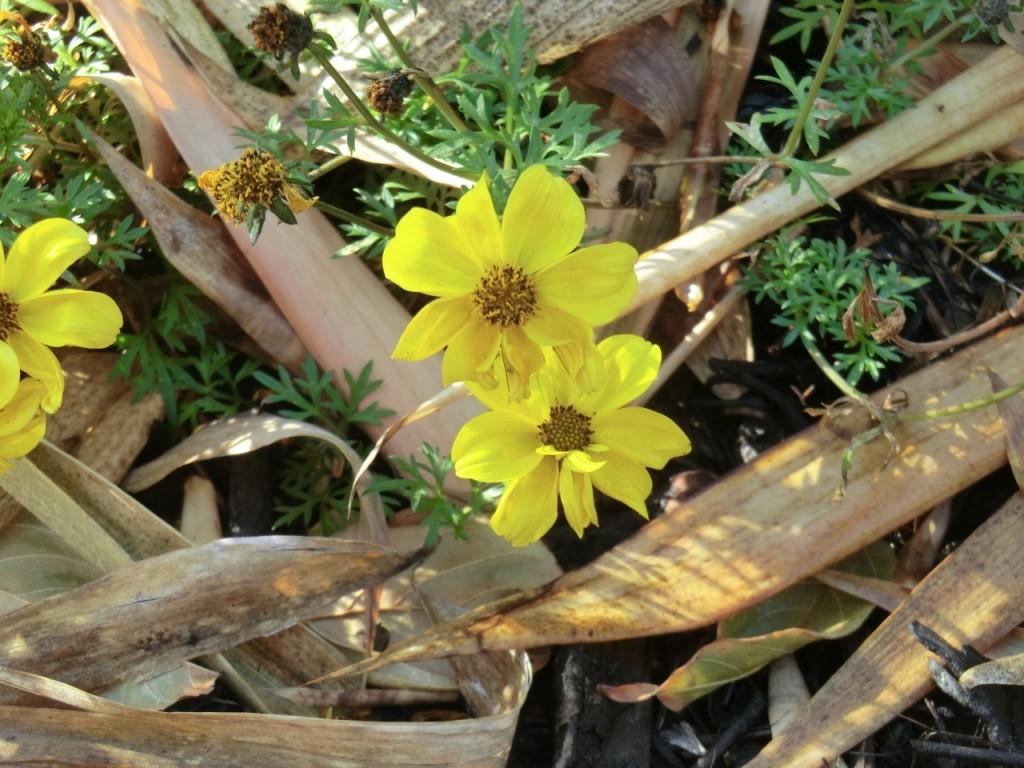 Bidens, burr marigold (flower)