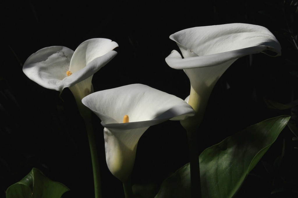 Calla Lily (flower)